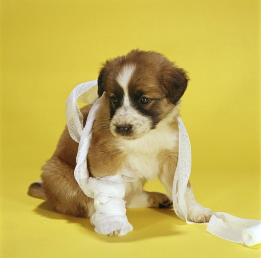 Close-up of a puppy dog with medical gauze wrapped around it : Stock Photo