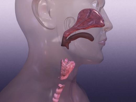 Larynx : Stock Photo