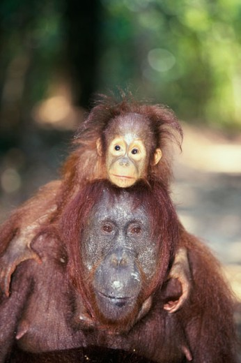 Bornean Orangutan carrying its young on its shoulders (Pongo pygmaeus) : Stock Photo