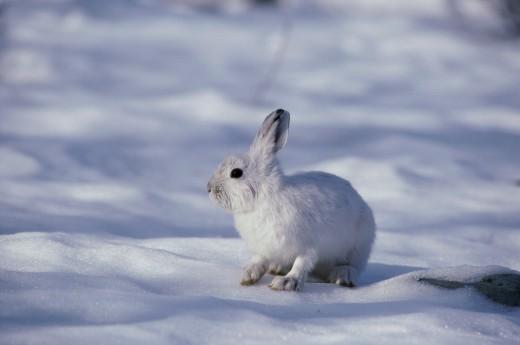 Stock Photo: 1574R-04650 Snowshoe Hare standing in snow (Lepus americanus)