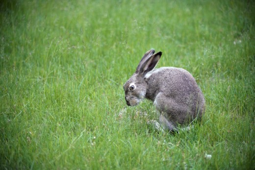 Side profile of a White-tailed Jackrabbit (Lepus townsendii) : Stock Photo