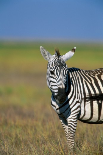Portrait of a Burchell's Zebra, Kenya (Equus burchellii) : Stock Photo