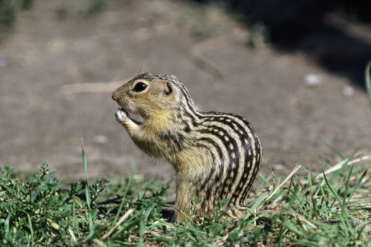 Close-up of a Thirteen-lined Ground Squirrel (Spermophilus tridecemlineatus) : Stock Photo