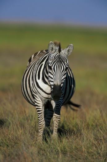 Stock Photo: 1574R-04690 Portrait of a Burchell's Zebra (Equus burchellii )