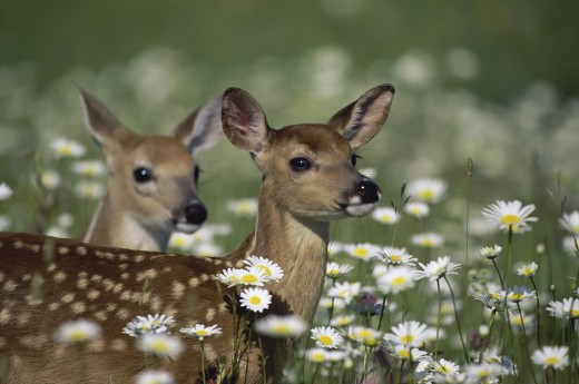 Close-up of two White-tailed Deer fawns (Odocoileus virginianus) : Stock Photo