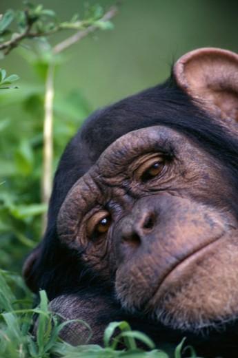 Stock Photo: 1574R-04705 Portrait of a chimpanzee, Tanzania (Pan troglodytes)