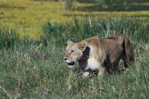 Side profile of an African lion walking in tall grass (Panthera leo) : Stock Photo