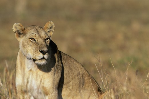 Side profile of an African lion (Panthera leo) : Stock Photo
