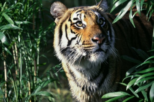 tigers effect on the ecosystem If tigers become extinct, who will have a how would the extinction of amur tiger affect the the presence of the tiger not only keeps the ecosystem.