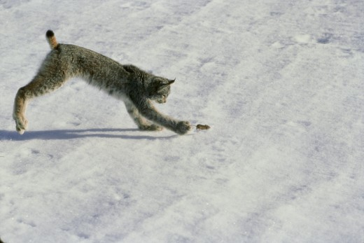 Stock Photo: 1574R-04843 High angle view of a Canada Lynx catching a mouse (Lynx canadensis)