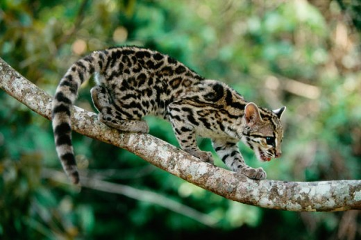 Stock Photo: 1574R-04866 Side profile of a margay climbing on a tree, Brazil (Leopardus wiedii)