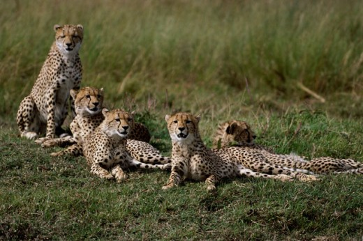 Group of cheetahs sitting on the grass (Acinonyx jubatus) : Stock Photo
