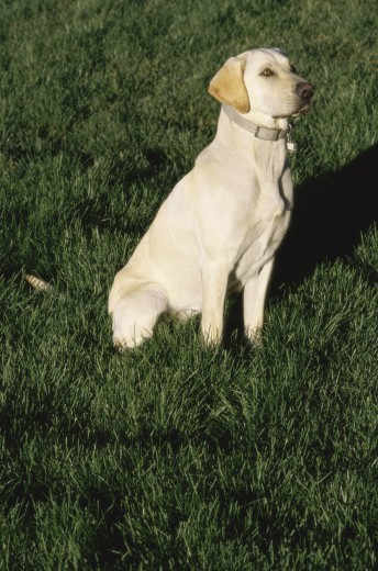 Stock Photo: 1574R-09643 Yellow Labrador Retriever