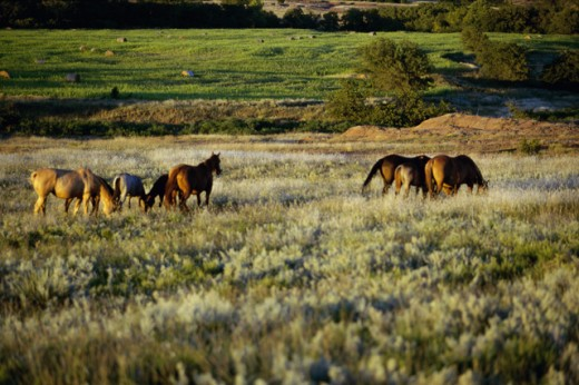 Stock Photo: 1574R-09953 Horses grazing in a field