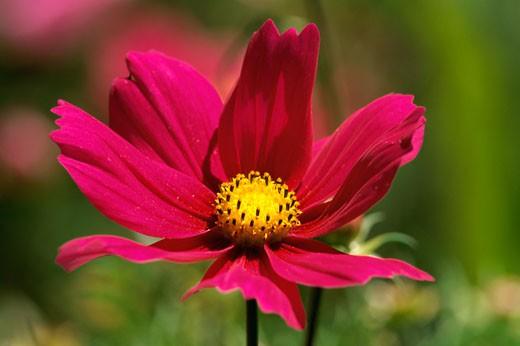 Stock Photo: 1574R-21508 Close-up of a cosmos flower, Ashland, Oregon, USA