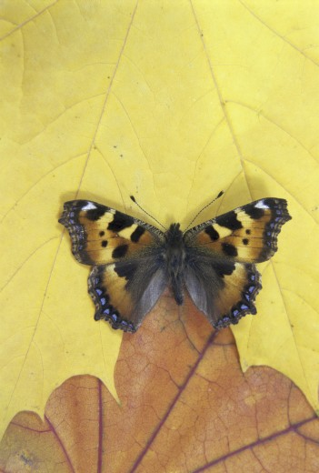 Stock Photo: 1574R-21528 Small Tortoiseshell butterfly