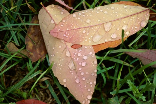 Water drops on dry leaves : Stock Photo