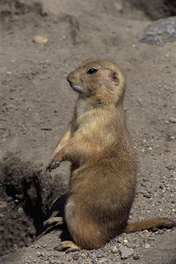 Stock Photo: 1574R-21658 Prairie dog standing