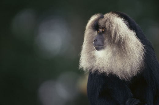 Close-up of a Long-Tailed Macaque : Stock Photo