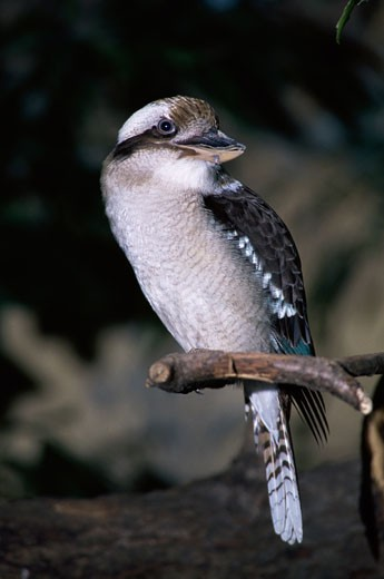 Kookaburra on a branch : Stock Photo