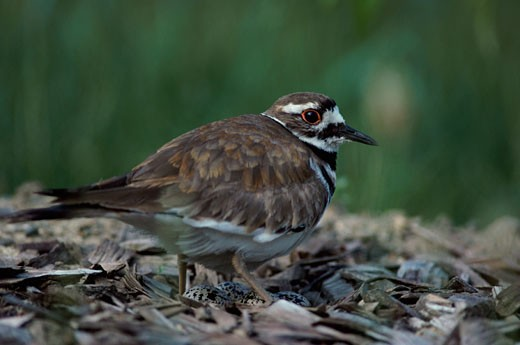 Close-up of a Killdeer : Stock Photo