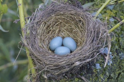 Close-up of a robin's nest with three eggs : Stock Photo