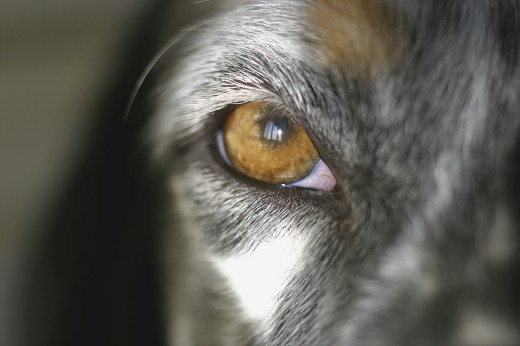 Stock Photo: 1574R-22147 Close-up of a dog's eye