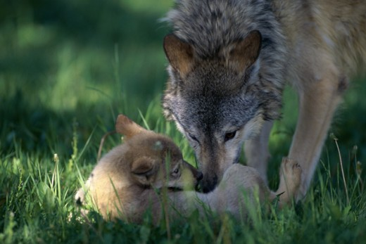 Close-up of a wolf and its pup : Stock Photo