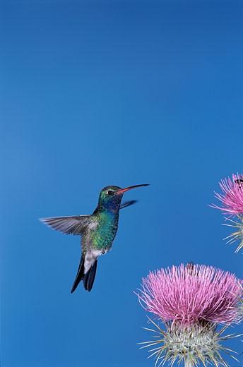 Stock Photo: 1574R-22429 Close-up of a Broad-billed Hummingbird (Cynanthus latirostris)