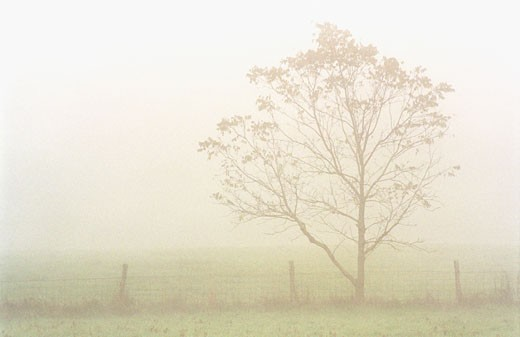 Stock Photo: 1574R-22745 Tree near a fence in a foggy field