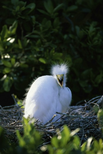Stock Photo: 1574R-22798 Close-up of a juvenile Great Egret in a nest (Ardea alba)