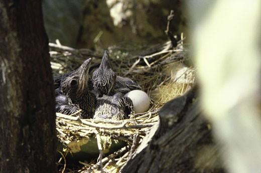 Stock Photo: 1574R-22807 Roadrunners in a nest (Geococcyx Californianus)