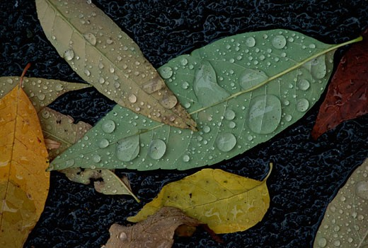 Stock Photo: 1574R-22815 Close-up of water drops on leaves