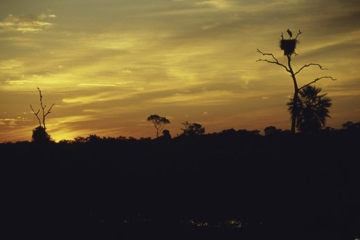 Stock Photo: 1574R-22935 Silhouette of Jabiru Storks in nests