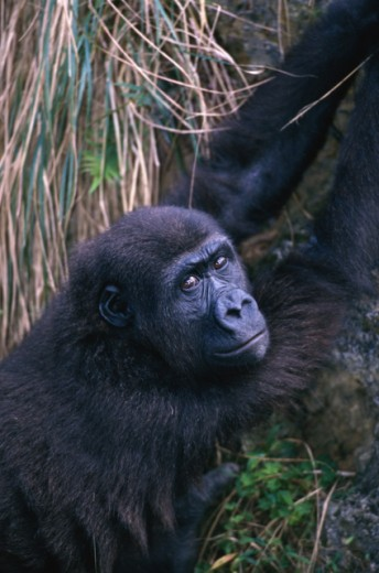 Close-up of a gorilla : Stock Photo