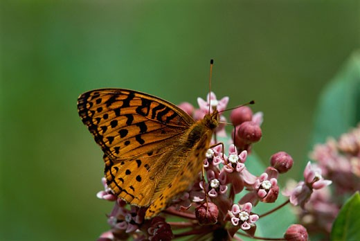 An Aphrodite butterfly on a plant : Stock Photo