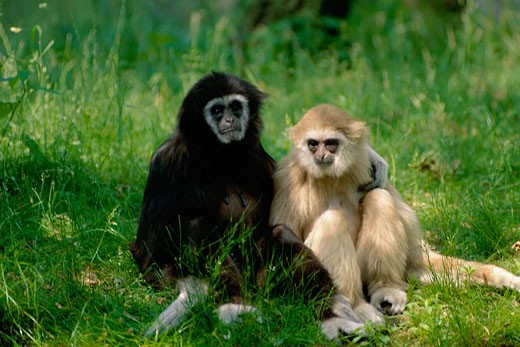 White-handed Gibbons sitting on grass, Bronx Zoo, New York City, USA : Stock Photo