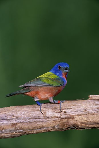 Stock Photo: 1574R-23107 Close-up of a Painted Bunting perching on a branch (Passerina ciris)