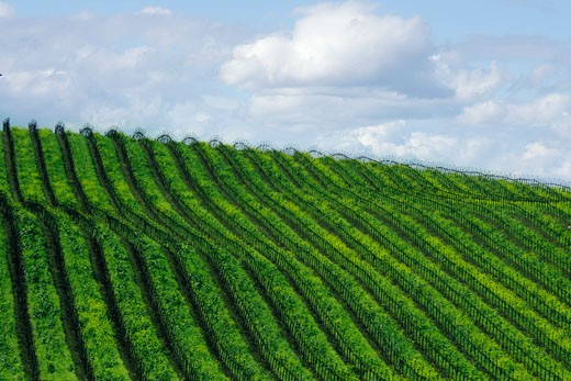 High angle view of a vineyard, Sonoma Valley, California, USA : Stock Photo