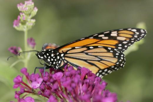 Stock Photo: 1574R-23670 Monarch Butterlfy