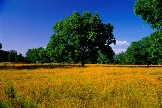 Wildflowers in a field, Lyndon B. Johnson National Historical Park, Texas, USA : Stock Photo