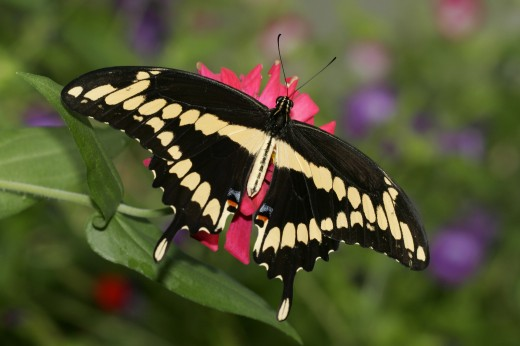 Stock Photo: 1574R-23783 High angle view of a Giant Swallowtail Butterfly on a flower pollinating (Papilio cresphontes)