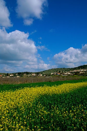 Stock Photo: 1574R-23867 Flowers in a field, Moshav Zecharia, Israel