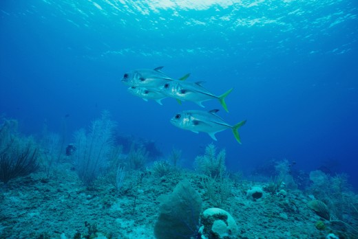 Four Horse Eye Jacks swimming underwater (Caranx latus) : Stock Photo