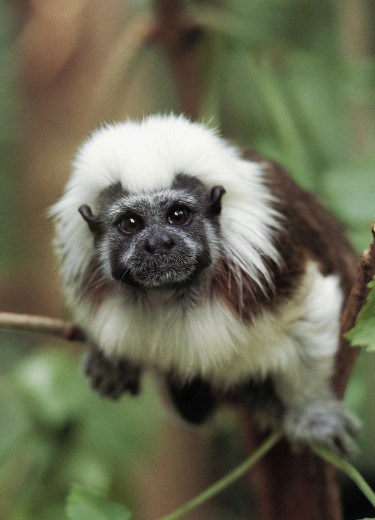 Stock Photo: 1574R-23915 Close-up of a Cotton-top Tamarin (Saguinus oedipus)