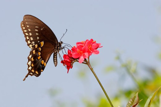 Close-up of a Spicebush Swallowtail Butterfly on a flower pollinating (Papilio troilus) : Stock Photo