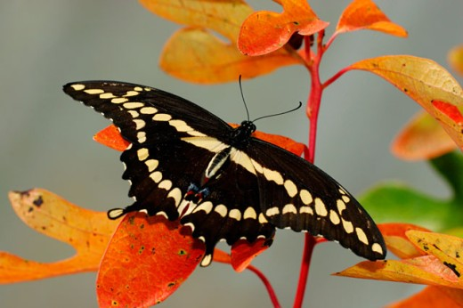 Stock Photo: 1574R-24136 High angle view of a Giant Swallowtail butterfly on a leaf (Papilio cresphontes)