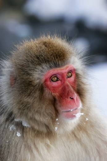 Close-up of a Japanese Macaque (Macaca fuscata) : Stock Photo
