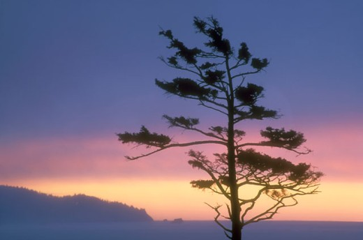 Silhouette of a Sitka Spruce tree at dusk, Ecola State Park, Oregon, USA : Stock Photo