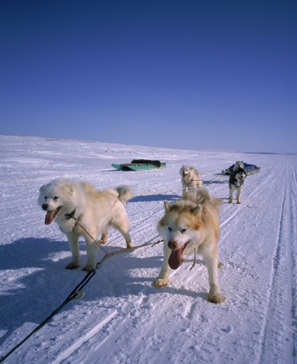 Huskies pulling a sled on a snow covered landscape, Cambridge Bay, Nunavut, Canada : Stock Photo